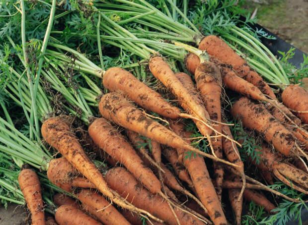 Убираем и храним морковь правильно