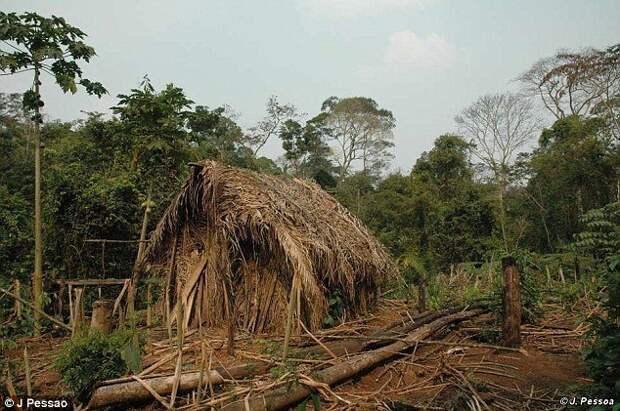 Он живет в самодельной хижине в полном одиночестве - с тех пор, как в 1995 году все его соплеменники были убиты Амазонские племена, бразилия, выживший, индейцы, одиночка, последний герой, тропический лес, южная америка