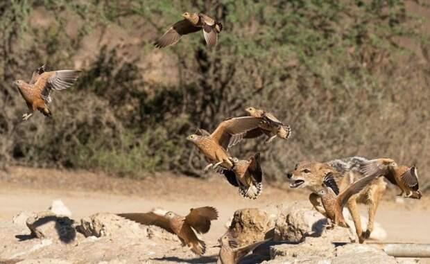 Шакалы устроили засаду, охотясь на рябчиков Шакалы, засада, охота, рябчики