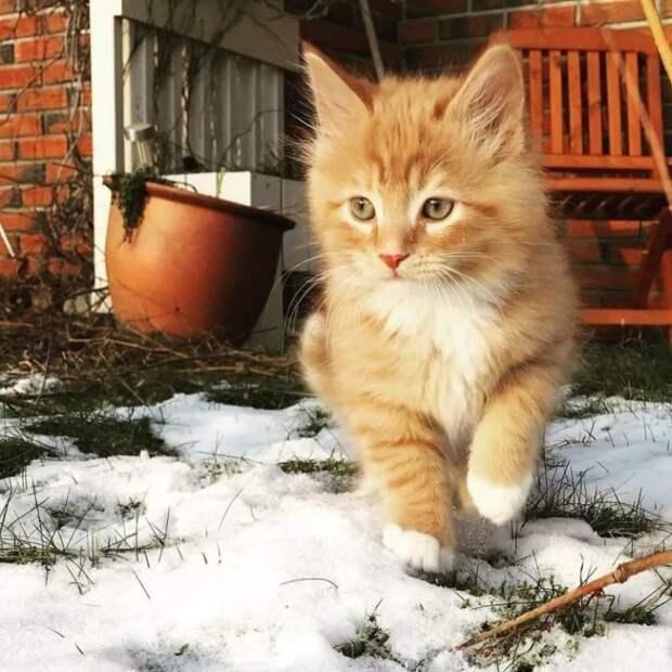 Познакомьтесь с норвежским котом, который просто обожает гулять с людьми по дикой природе!