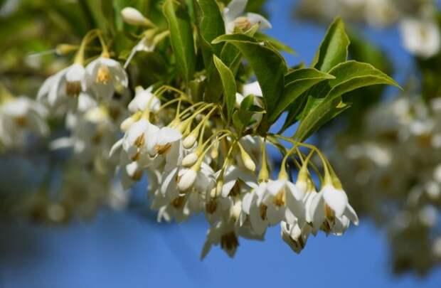 """Халезия, или Галезия горная. В народе носит название """"Ландышевое дерево"""""""