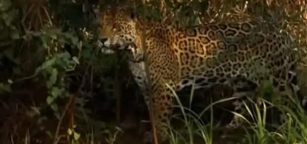 Поразительный животный мир: как ягуар способен побороть хищника сильнее себя