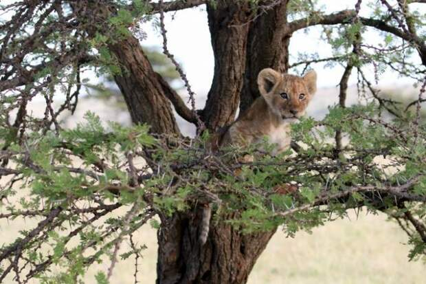 Неуклюжий львенок полез на дерево и получил ценный урок. Даже два!