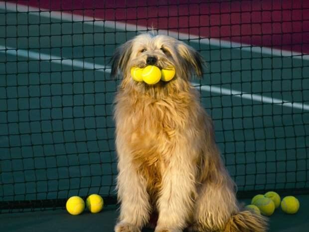 Собака, мячики, теннис, сетка обои, фото, картинки.