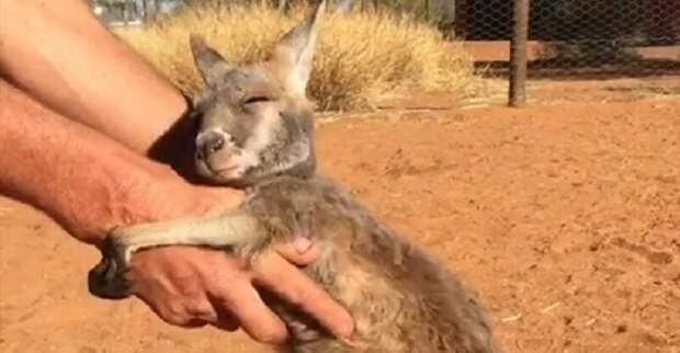 Малыш кенгуру безумно любит обниматься