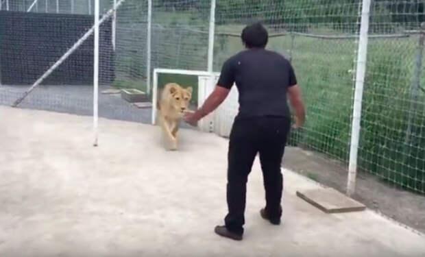 Лев не видел друга четыре года: мужчина зашел в клетку после долгой поездки