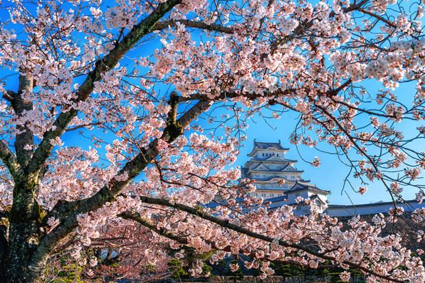 Цветение сакуры в Японии стало самым ранним за 1200 лет