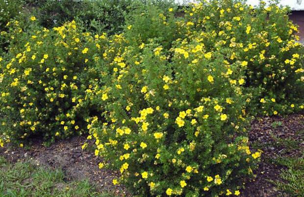 Многолетние растения, цветущие с начала и до конца лета...