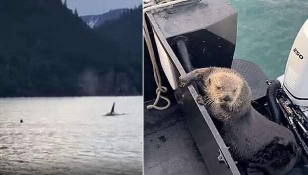 Морская выдра забралась в лодку, чтобы спастись от косатки (1 фото + 1 видео)