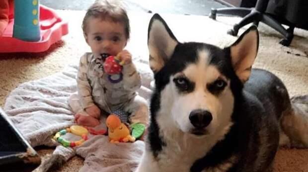 Маленький мальчик учит собачий язык, копируя вой своего любимого хаски