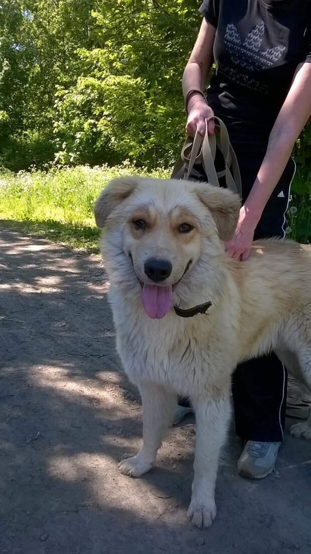 Крупного пса спасли от пуль догхантеров большой пес, домашняя собака, отстрел, приют, собака
