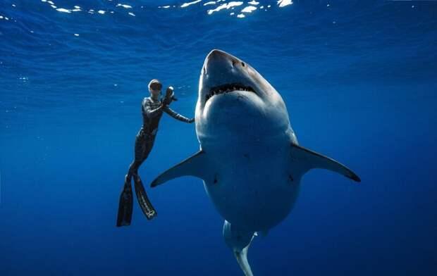 Приготовьтесь - вас снимают! Великая Белая Акула, акула, наука