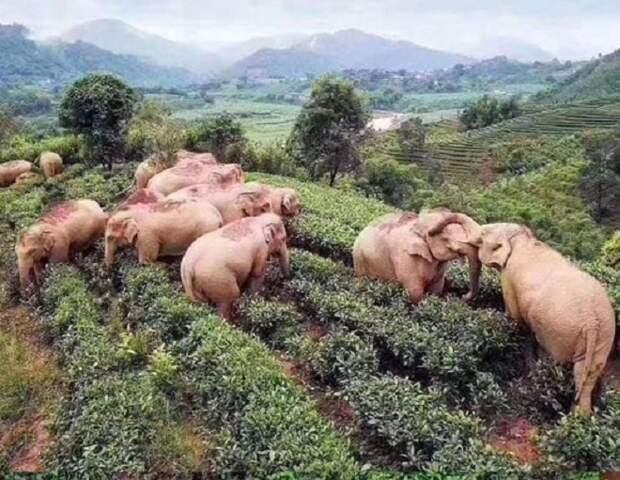 Стая слонов