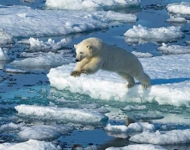 Играющие на тонком льду белые медведи рядом с поселком попали на видео