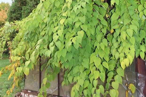 ЕщёИ.В.Мичурин считал, что «в будущем актинидия у нас займёт одно из перворазрядных мест в числе плодовых растений нашего края, способных… совершенно вытеснить виноград».