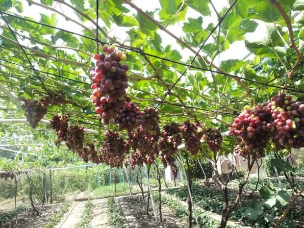 Август: дела на винограднике