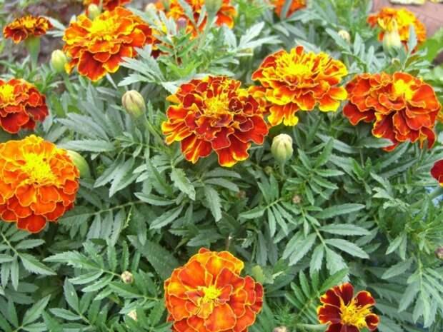 Отцветшие бархатцы: чудо-средство для огорода, которое вернет почве плодородие и сделают её мягкой
