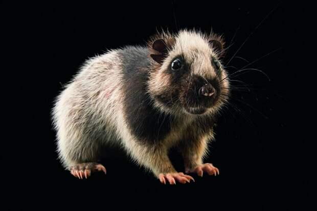 Первые жители Филиппин причастны к истреблению крупнейших крыс Евразии