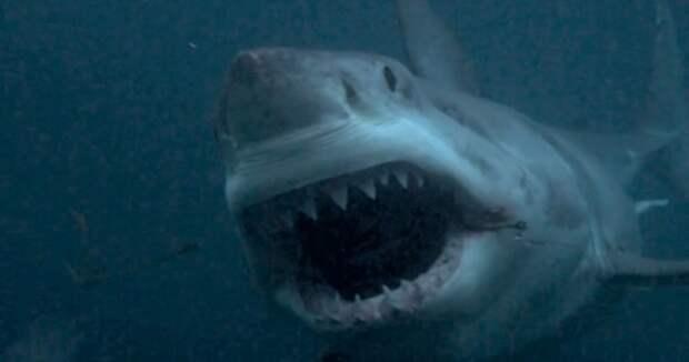 10 легендарных акул-людоедов акула, животные, людоед, океан