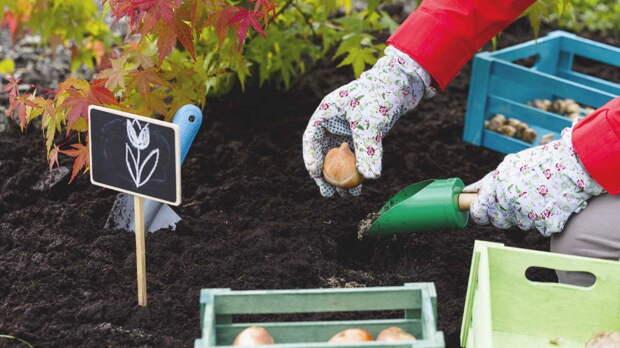Осенняя посадка луковичных цветов: рекомендации опытных садоводов