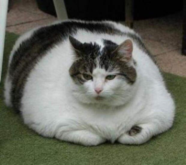 Когда понял, что у тебя проблемы с лишним весом животные, коты, лишний вес, юмор