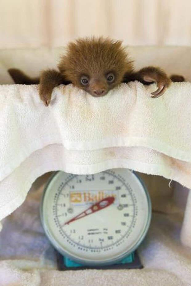 13 весёлых кадров, которые показывают, на что приходится идти, чтобы взвесить обитателей зоопарка
