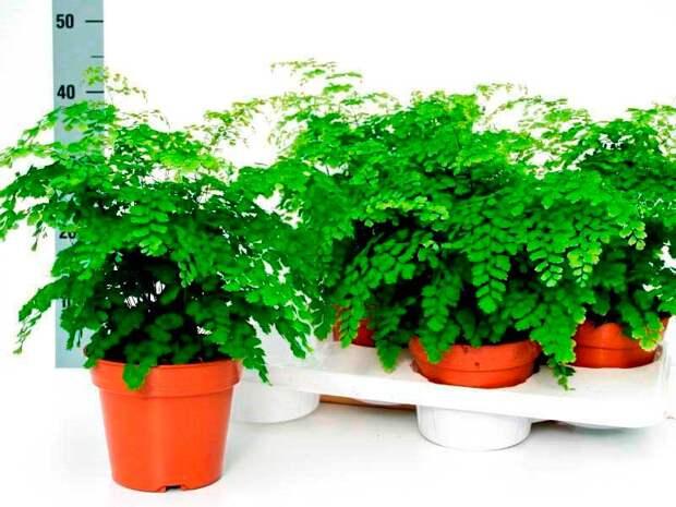 Комнатное растение Адиантум (Adianthum)