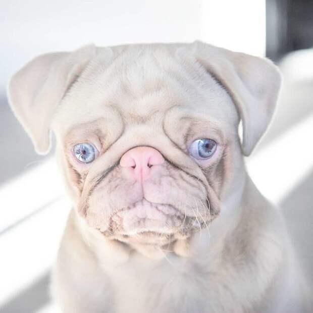 Розовый мопс с голубыми глазками стал звездой интернета