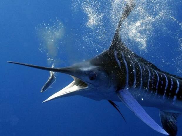 Рыба-парусник – самая быстрая в океане