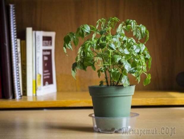 Цветок радермахера: секреты правильного ухода за растением в домашних условиях