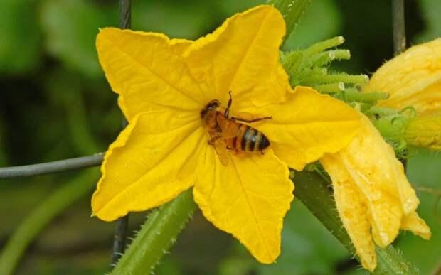 Самоопыляемые и партенокарпические сорта огурцов для небывалого урожая