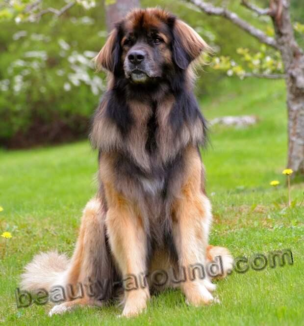 Леонбергер самые красивые породы собак, породы собак с фото