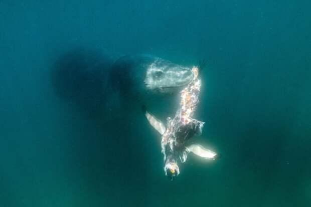 Антарктида: фото морского леопарда