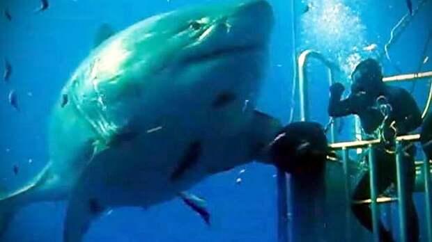 1 - Гигантская белая акула - Deep Blue акула, животные, людоед, океан