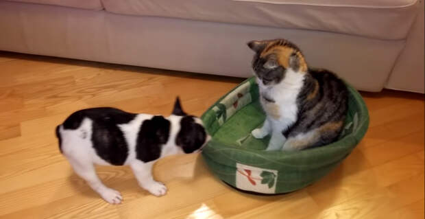 Маленький щенок пытается отобрать свою кровать у безразличного кота