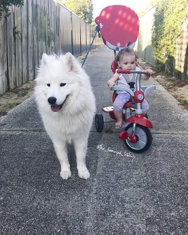По словам Хегарти, старшая дочь научилась ходить, держась за шерсть питомца Порода, грумер, животные, ребенок, самоедская собака, семья, фотография