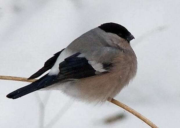 Снегирь-птица-Описание-и-образ-жизни-снегиря-2