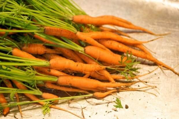 Морковь небольшого размера отличается нежным, сладким вкусом