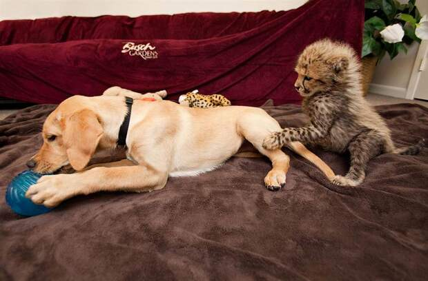ss 110504 unlikely friends puppy cheetah ss full Про дружбу кошек с собаками