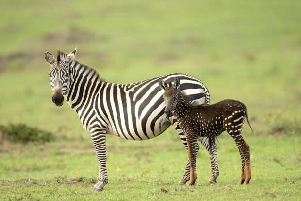 5 очаровательных фото зебры, которая родилась с пятнами вместо полосок