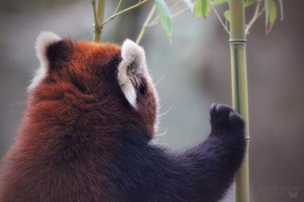 Панды крутые, а красные панды — еще круче ;)