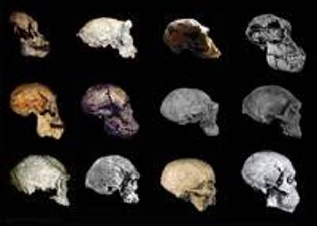 Африканская эволюция человека (масштаб не соблюден): Проконсул (15-18 млн. лет назад) – Сахелантроп (7 млн. лет назад) – Ардипитек (4,4 млн. лет назад) – Австралопитек афарский (AL 822, 3,1 млн. л.н.) – Homo rudolfensis (KNM-ER 1470, 2 млн. л.н.) – Homo ergaster (KNM-WT 15 000, 1,5 млн. л.н.) – Homo erectus (Данакиль, 1 млн. л.н.) – Homo heidelbergensis (Кабве, 300 тыс. л.н.) – Homo helmei (Джебел Ирхуд, 160 тыс. л.н.) – Homo sapiens idaltu (Херто, 160 тыс. л.н.) -  Homo sapiens sapiens (Хоффмейр, 36 тыс. л.н.) - Homo sapiens sapiens (Джебель Сахаба,  13,7 тыс.л.н.)