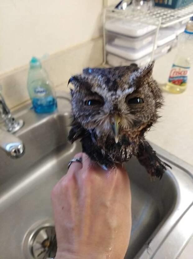 Попавшей в клей маленькой сове помогли мыльные ванны и масло
