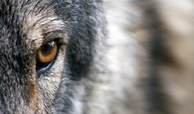 «Это ужас»: вот, чем пытались накормить волков взоопарке под Владивостоком