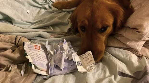 Собака не дала хозяйке отправиться в эпицентр коронавируса, уничтожив ее паспорт