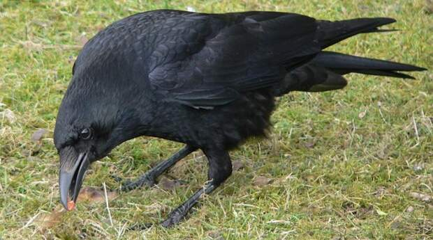 File:Corvus corone Rabenkrähe 1.jpg