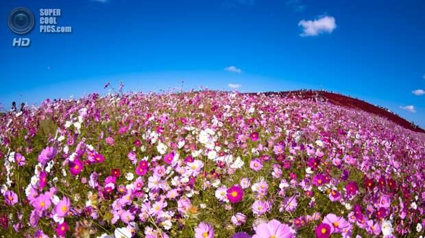 Япония. Хитатинака, Ибараки. Парк Хитачи-Сисайд. Осень. Цветение космеи. (shin--k)