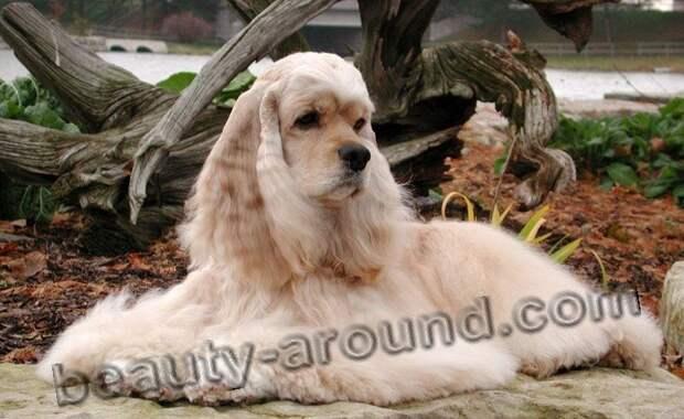 Американский кокер-спаниель фото красивых собак, породы собак с фотографиями