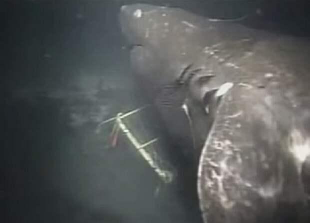 9 - Загадочная акула из Марианской впадины акула, животные, людоед, океан