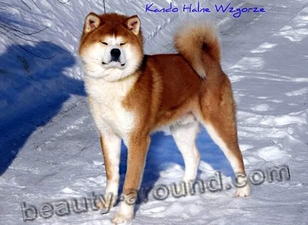Акита-ину  красивые фото собак, породы собак с фото